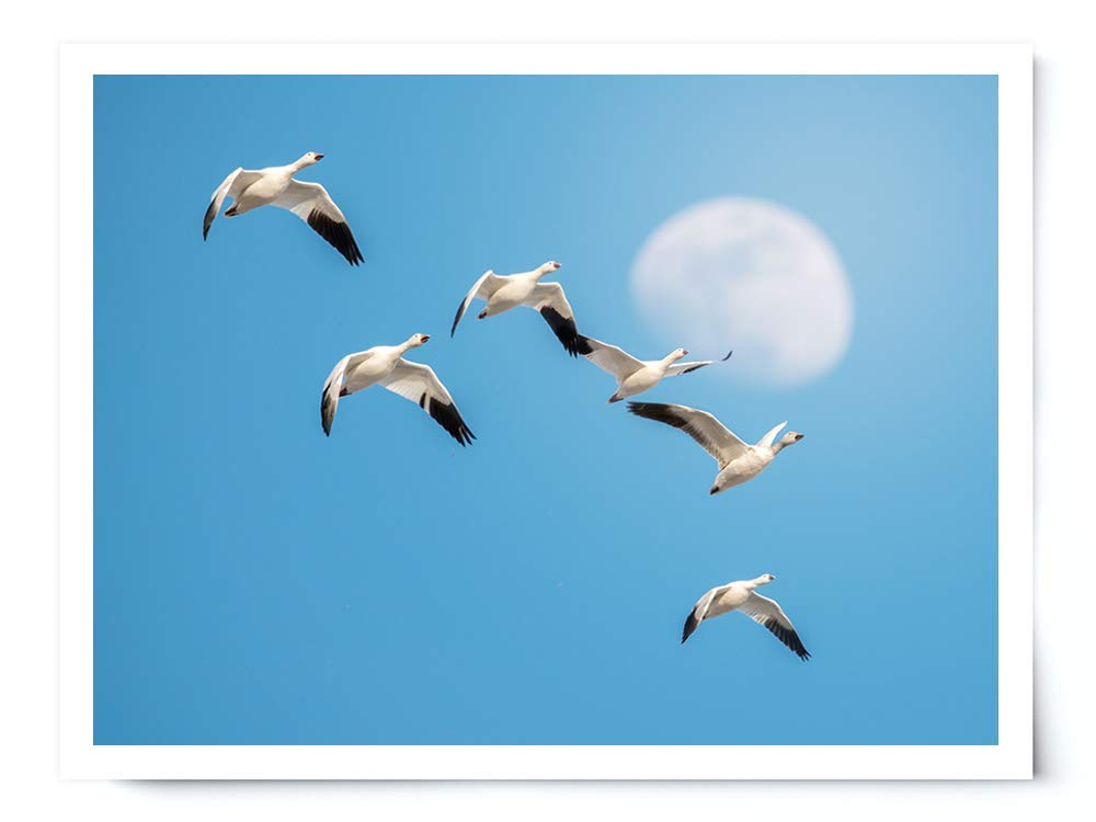 Snow Geese and the Moon - Wildlife Photograph Animal Picture Home Decor Wall Nature Print - Variety of Sizes Available