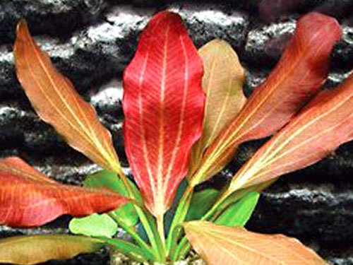 (Red Flame Sword - Beginner Tropical Live Aquarium Plant)