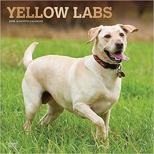 Yellow Labrador Retrievers