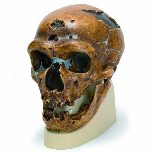 3B Scientific VP751/1 La Chapelle-aux-Saints Anthropological Skull Model,