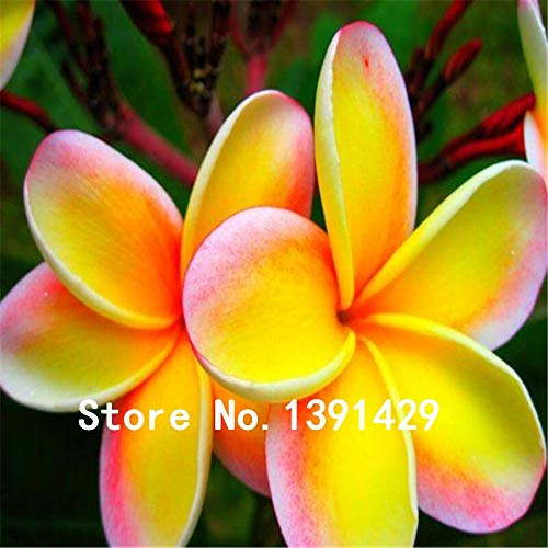 (Plumeria Hawaiian Foam Frangipani Flower Bonsai for Wedding Party Decoration (100pcs))