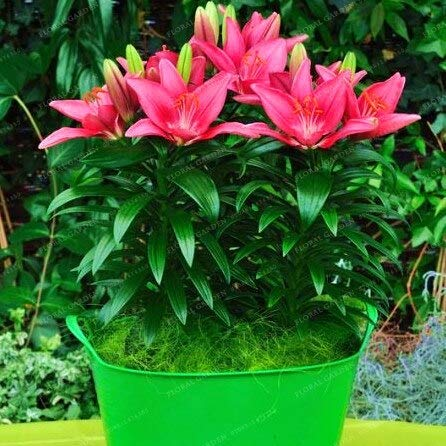 Flower Pot - True Lily Bulbs Perfume (Bonsai) Bonsai Flower High Germination Bulbos De Flores Planta -2 by Boxiss