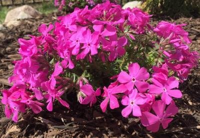 Classy Groundcovers - Phlox 'Drummond's Pink' Creeping Phlox, Moss Phlox {25 Pots - 3 1/2 in.} by Classy Groundcovers (Image #3)