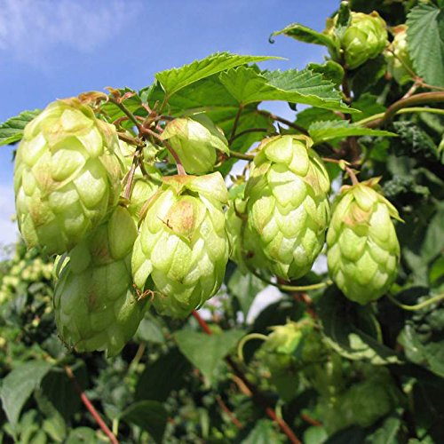 Egrow 20Pcs Hops Seeds Humulus Lupulus Brewing Beer Plant Tea Herb Brew German Magnum Gods Kingdom 7111267169607