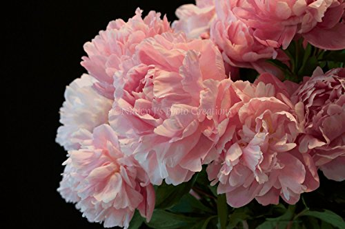 Luscious Pink Peonies Photographic Print Unframed Floral Photography Large Wall Art Feminine Home Decor 5X7 8X10 8X12 11X14 12X18 16X20 16X24 20X30