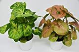 "2 Different Syngonium Plants - Arrowhead Plant - FREE Care Guide - 4"" Pot - HARD TO KILL"