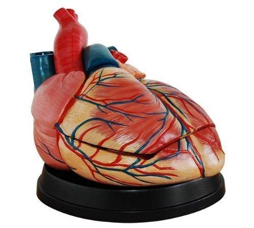 YOHOSO Human New Style Jumbo Heart Simulation Model Medical Anatomy ()