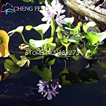 100 pcs/ packing New Water Hyacinth Seeds Best Germinate Pond Aquarium Seeds Indoor home Fissidens Flowers Pots for Bonsai plant Multi-Colored