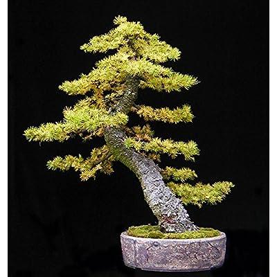 Japanese Larch, Larix Leptolepis, 30 Tree Seeds, Fall Colors! (Larix Kaempferi) : Garden & Outdoor