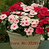 100 Periwinkle seeds , Mix Color Vinca (Catharanthus roseus) , a perfect bank cover behind your house, evergreen