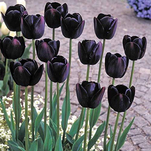 Casavidas Seeds Package: 5: Tulipa Queen of The Night - Single Late Tulip Bulbs