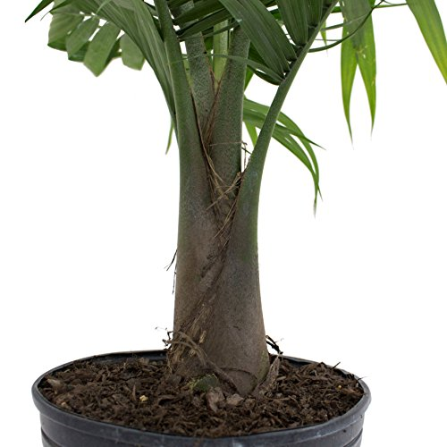 Costa Farms Majesty Palm Tree, Live Indoor Plant, 3 to 4-Feet Tall, Ships in Grow Pot, Fresh From Our Farm, Excellent Gift by Costa Farms (Image #4)