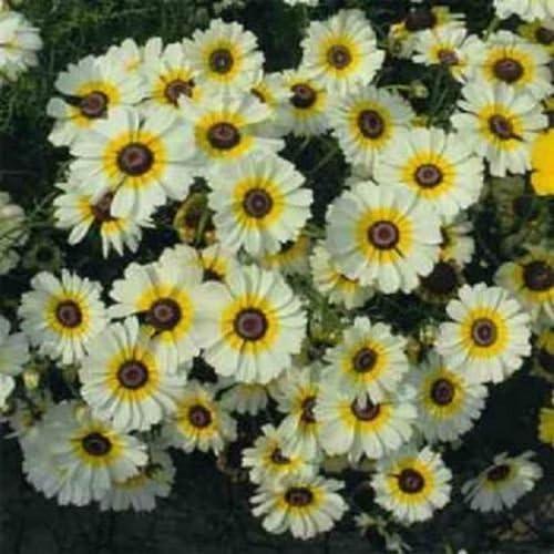 100 semillas Semillas de crisantemo Carinatum Polar Flor de la estrella: Amazon.es: Jardín