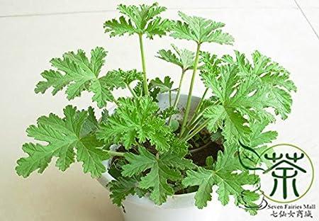 Amazon Com Rose Geranium Pelargonium Graveolens Seeds 120pcs