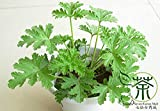 Rose Geranium Pelargonium Graveolens Seeds 120pcs, Family Geraniaceae Qu Weng Cao Flower Seeds, Rose-scented Pelargonium Seeds