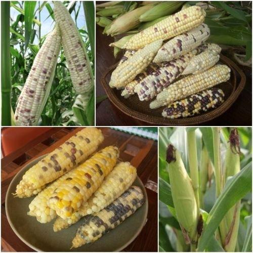 Mix Waxy Corn 150 Seeds, Vegetables Plants Seeds, Corn Seeds Garden Thailand