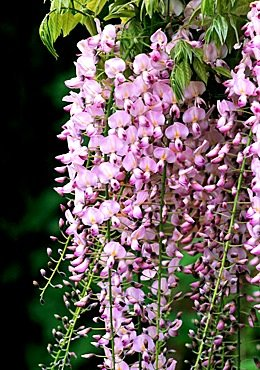 Pink Ice Wisteria Vine 3 - Year Live Plant