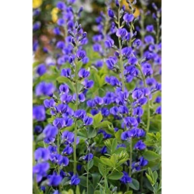 50 Blue Wild False Indigo Baptisia Flower Seeds : Garden & Outdoor