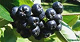 Aronia Melanocarpa Black Chockberry Live Plant Pyrus, Edible Fruit