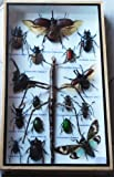 REAL BIG SIZE MIXS INSECT TAXIDERMY SET IN BOXES DISPLAY FOR COLLECTIBLES
