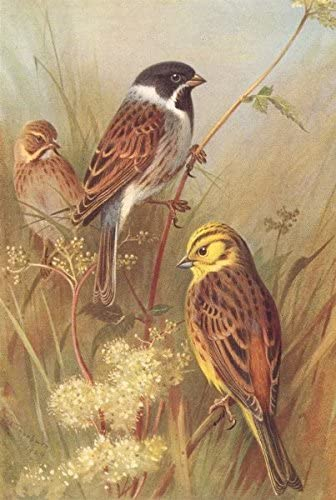 British Birds Reed Bunting Male Female Yellow Hammer Thorburn 1925 Amazon Co Uk Kitchen Home