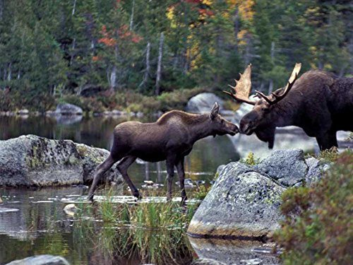 Moose Nuzzle -Oil Painting On Canvas Modern Wall Art Pictures For Home Decoration Wooden Framed (20X16 Inch, Framed)
