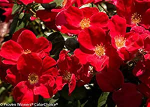 "Home Run Red Rose Bush - 4"" Pot - Disease Resistant - Proven Winners"