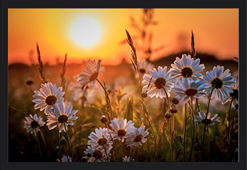 Daisy Flower Field at Sunset (36x24 Giclee Art Print, Gallery Framed, Black Wood)