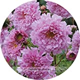 Heirloom Rare Imported USA perennial Coreopsis Cosmos Flower Seeds, Professional Pack, 100 Seeds / Pack, Very Beautiful