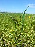 1 lb Seeds Echinochloa walteri WALTER'S BARNYARD GRASS