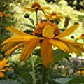 30 Seeds of Echinacea paradoxa - Coneflower 'Leilani'. Spectacular bright yellow flowers. Leilani means 'Royal Child of Heaven'