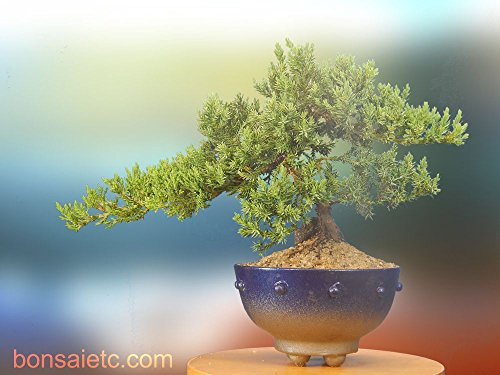 7+ Year Old Juniper Bonsai Tree in Handmade Blue Metallic Container