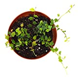 9GreenBox Mini Oakleaf Creeping Fig