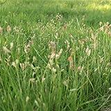 Outsidepride Short Native Grass Seed Mix of Blue Grama, Buffalo, and Sideoats Grama - 5 lbs