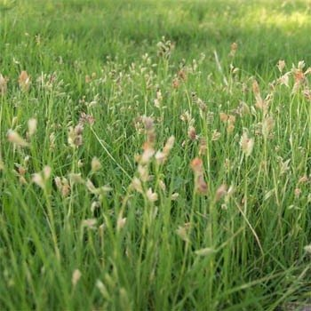 Outsidepride Short Native Grass Seed Mix of Blue Grama, Buffalo, and Sideoats Grama - 5 ()