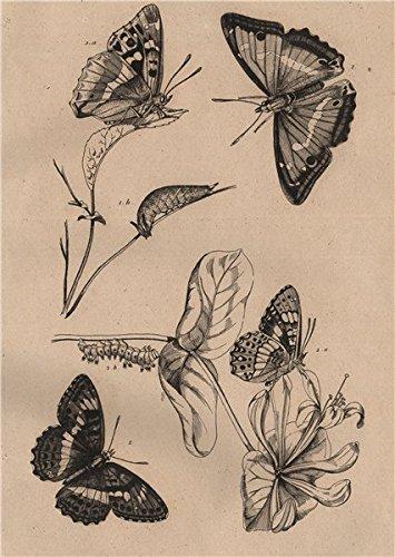 Emperor Iris - BUTTERFLIES. Purple Emperor. Apatura Iris. Camille. Southern White Admiral - 1834 - old print - antique print - vintage print - Flowers art prints