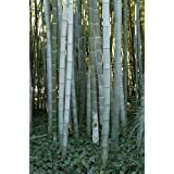 Exotic Plants Phyllostachys pubescens - giant bamboo Moso - 30 seeds