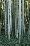 BAMBOU GEANT MOSO (Phyllostachys Pubescens) 60 graines
