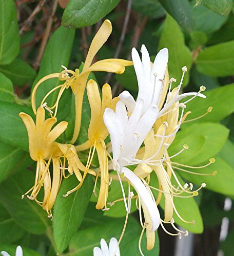 Hall's Japanese Honeysuckle Vine Plant, Lonicera Japonica Rooted Vines - 4 inch Pot Plant