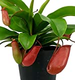 """Lady Luck Red Asian Pitcher Plant - Nepenthes - Carnivorous - 4"""" Pot"""