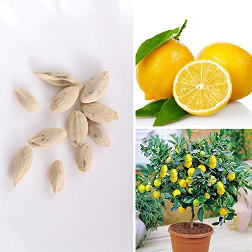 BigFamily 10pcs Rare Lemon Tree Seeds Indoor Outdoor Garden Heirloom Fruit Plant