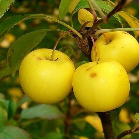 Amazon Com European Crab Apple Tree Seeds Malus Sylvestris 15