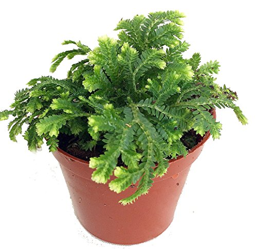 Frosty Fern Spike Moss - Selaginella - Easy to Grow - 2.5