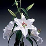 True Lily Bulbs, Lily Flower, (not Lily Seeds), Flower Lilium Bulbs, Faint Scent, Bonsai Pot Plant -1 Bulb White
