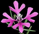 Seeds Flowers Clarkia pulchella Pretty from Ukraine 0.3 Gram