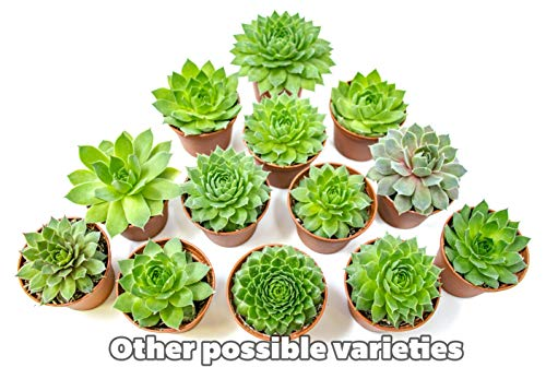 Fractal Succulents (5 Pack) Live Sempervivum Houseleek Succulent Rooted in Pots | Flowering Plant Leaves / Geometric Rosettes by Plants for Pets by Plants for Pets (Image #6)