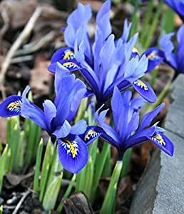 Iris reticulata - 10 / Iris reticulata - 10 bulbos