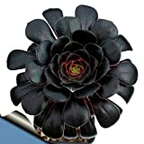 "Black Rose Tree - Aeonium arboreum - RARE - Easy to grow! - 3"" Pot"