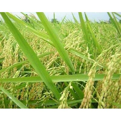 Rex Long Grain White Rice Seed - Certified Grains Forage Crop Seeds (1oz : Garden & Outdoor