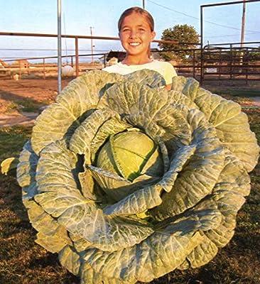 Cicitar Garden- 50pcs Rare School Cabbage mega-Cabbage, Organic Vegetable Seeds Exotic Hardy Perennial Garden